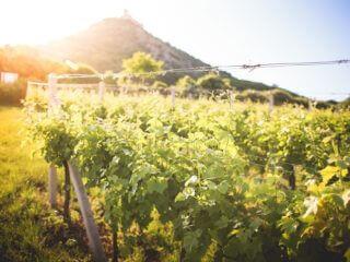 sunny-vineyard