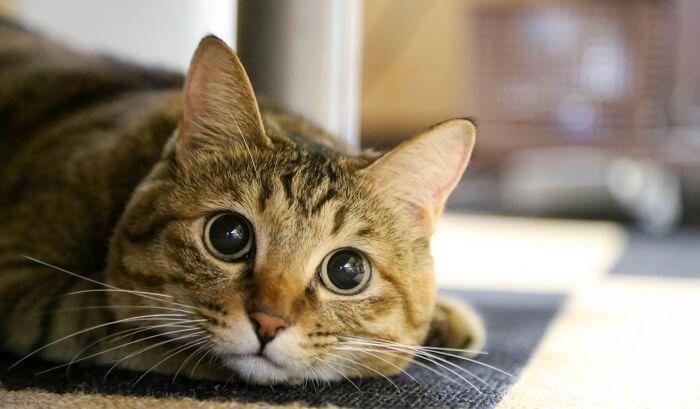 staring-cat