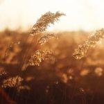 susuki-grass